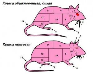 Питание в экстремальных условиях: крысы